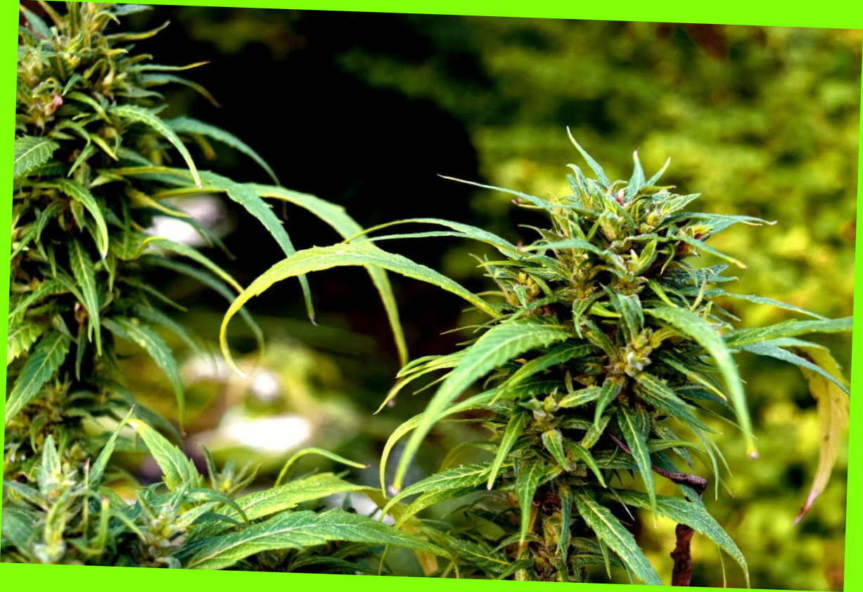 Legal marijuana (Marijuana Legale) within the country thanks to its certification without problems